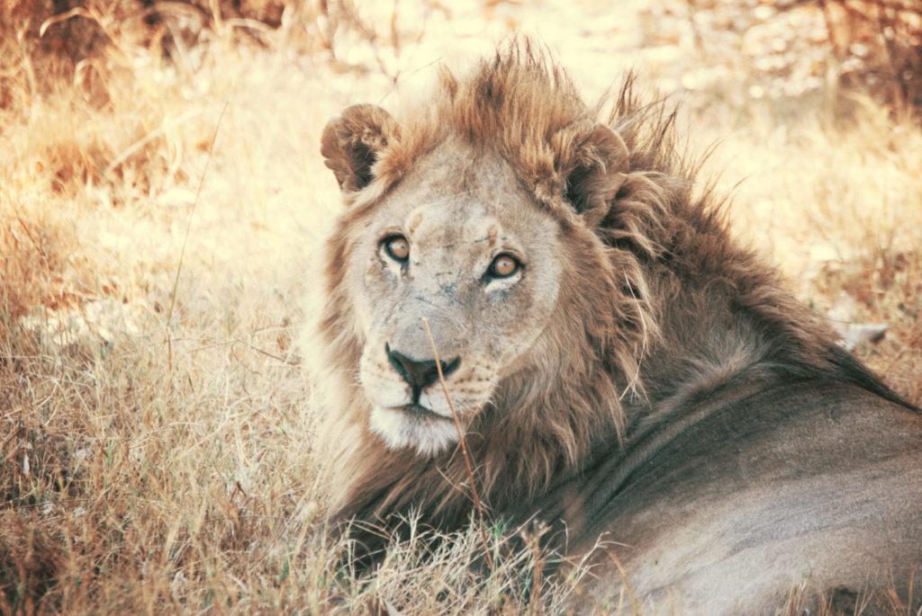 Dierentuin leeuw